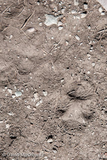 What species and which foot? Front and hind tracks of a red fox.