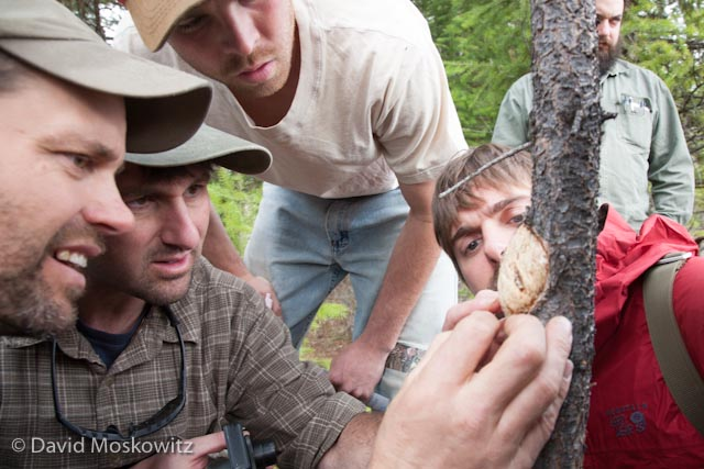 Who removed the bark from this burl on a lodgepole pine? From left to right, Track and Sign Specialist Matt Nelson, Mark Elbroch, Preston Taylor and Adam Lieberg discuss a contentious question, a burl on a lodgepole pine which had been debarked by a red squirrel