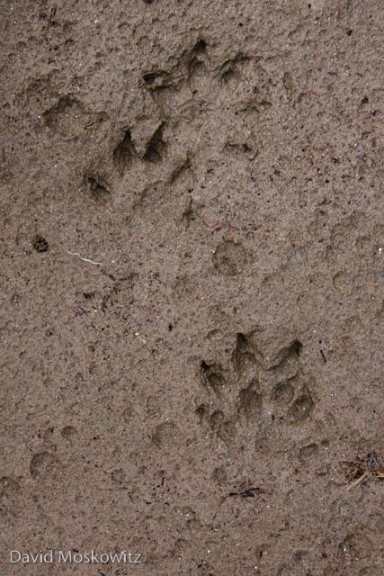 All four tracks of a mink in a typical loping pattern for the species. In this deep substrate the webbing between the toes has registered. Tracks from along the Snohomish River, Snohomish County, Washington.