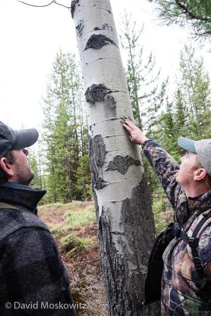 Senior Tracker Brian McConnell, who assisted in delivering the evaluation, points out one of the questions, marks on an aspen tree to Adam Lieberg, Conservation Program Program Coordinator at Northwest Connections. Adam correctly interpreted them to be made by a black bear which had climbed the tree.