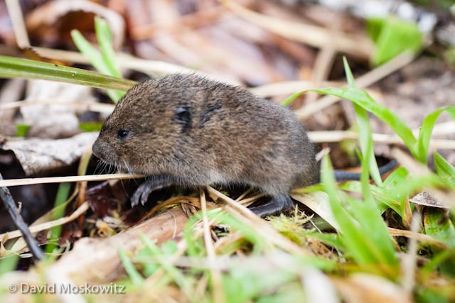 Field marks which identify this as a creeping vole include its small size, short tail, and small ears which blend into it fur as well as its forest habitat.