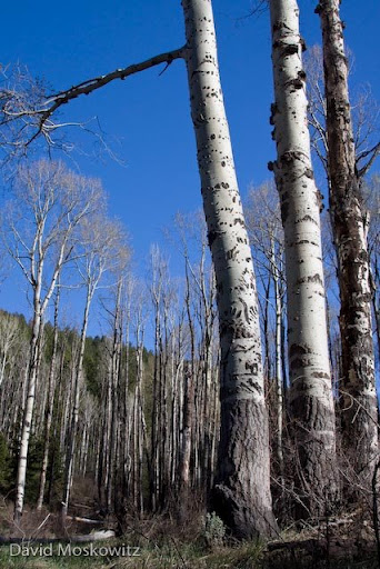 "Aspen stand with bear climbing marks and elk cambium feeding scars on trees in the foreground. Many aspen stands in the southern Rockies are dying for reasons that are not yet totally clear. Aspen stands are generally comprised of one or a few individual organisms (called ""Clones"") each of which sends up multiple trunks. About half of the mature trunks in the patch are dead."