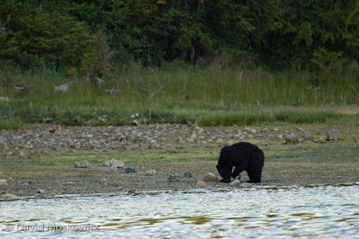 Black bear foraging for invertebrates in the intertidal zone by rolling rocks.