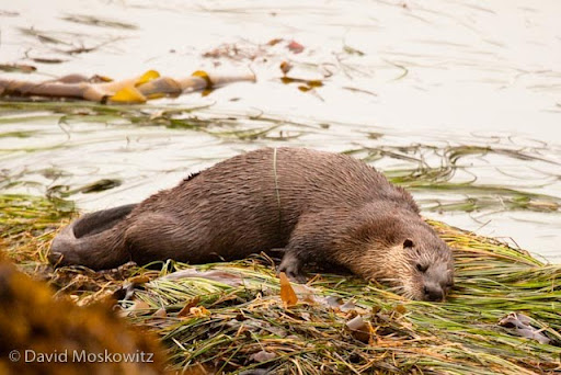 River otter scent marking on seaweed as tide goes out.