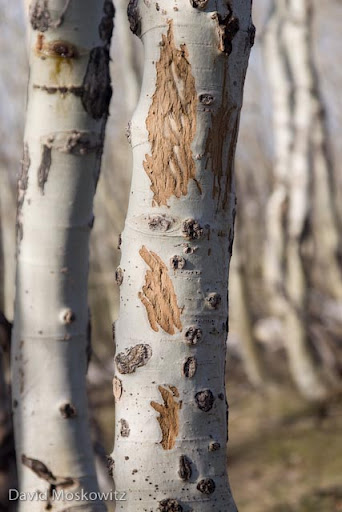 Incisor marks from an elk feeding on the bark of an aspen. Barking of aspens by elk can have extensive impacts on aspen stands. Along with the bark, elk, deer and cattle also feed on the branch tips of saplings stunting their growth and retarding recruitment of young trees where browsing pressure is intense.