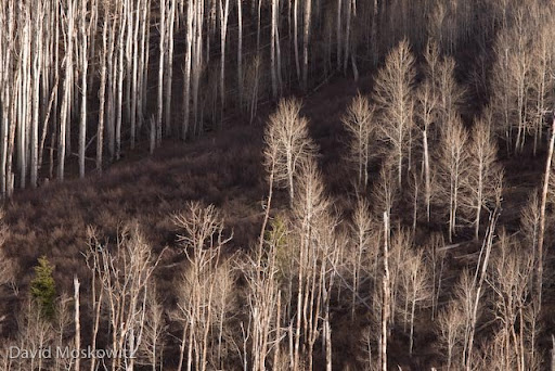 Aspen stand at about 8500′ elevation on the western edge of the Rocky mountains