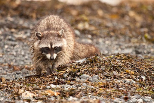 Racoon foraging for sand flees on beach of island in Sound