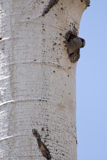 A female Purple Martin looking out from its nest cavity in a standing dead aspen tree. In this same tree was also a nest cavity being used by a house wren.