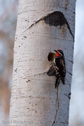 A red-naped sapsucker paused from excavating a new cavity in a dead aspen tree. Cavities excavated by woodpeckers are used by a wide variety of other birds and mammals as nests once abandoned by the woodpecker.