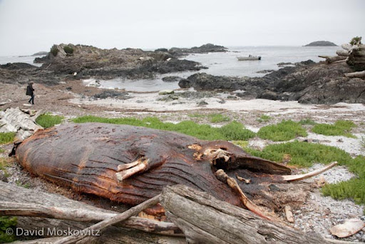 Carcass of juvenile humpback whale on beach of island in Clayoquot Sound