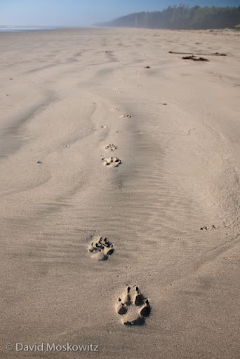 Wolf tracks along west coast of Vancouver Island, British Columbia.