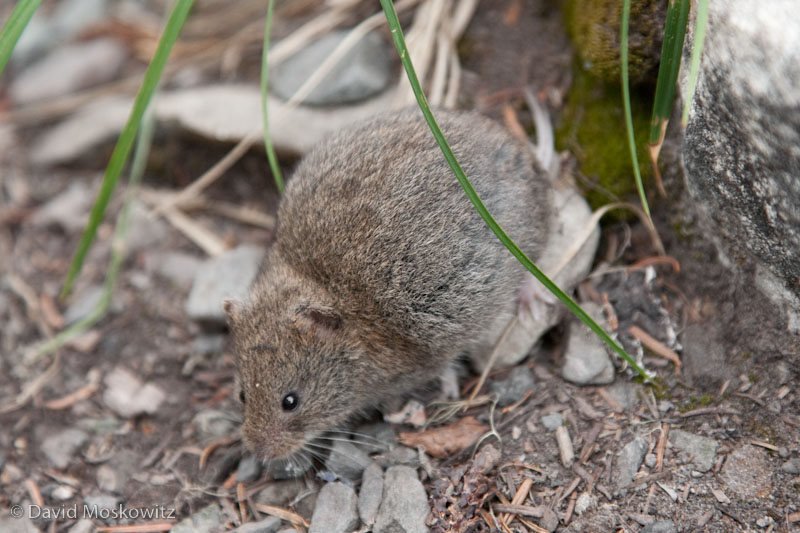 Western Heather Vole (Phenacomys intermedius). Lunch Lake, Olympic National Park.