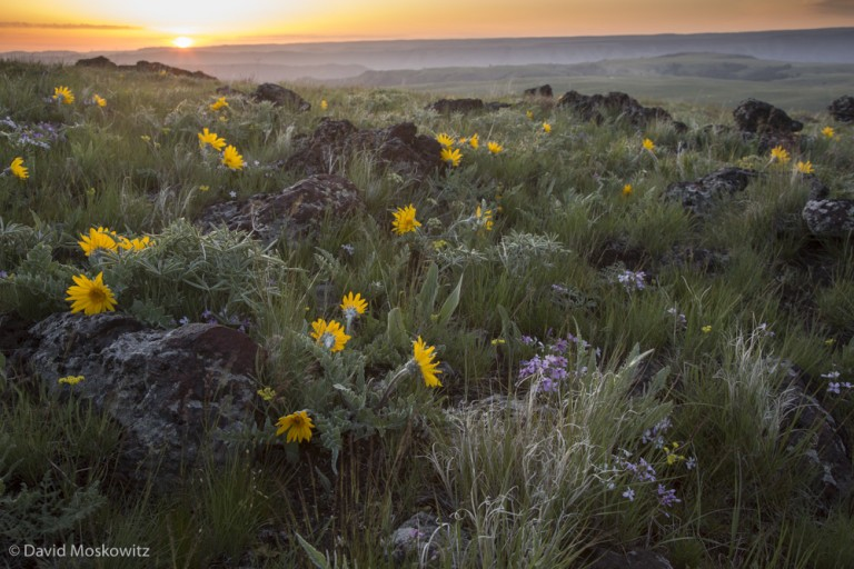 Sunrise over the Zumwalt Prairie in Wallawa County Oregon, part of the home range of OR7's natal pack.