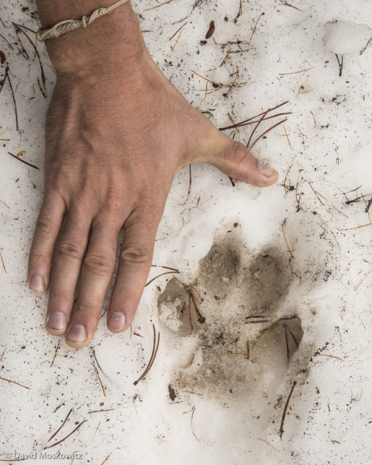 Tracks of a lone wolf in the Eagle Cap Wilderness, Oregon.
