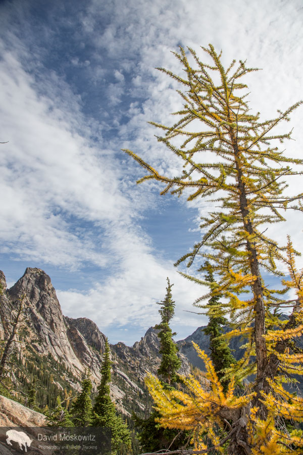 An alpine larch and the granite spires of Kangaroo Ridge in the North Cascades.