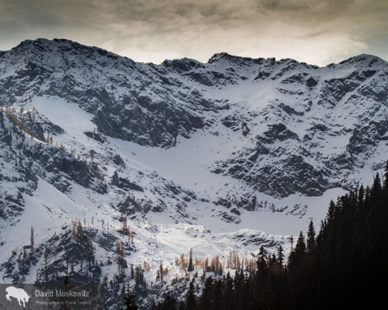 A grove of alpine larch below the snow covered north face of Frisco Peak and the Lyle glacier.