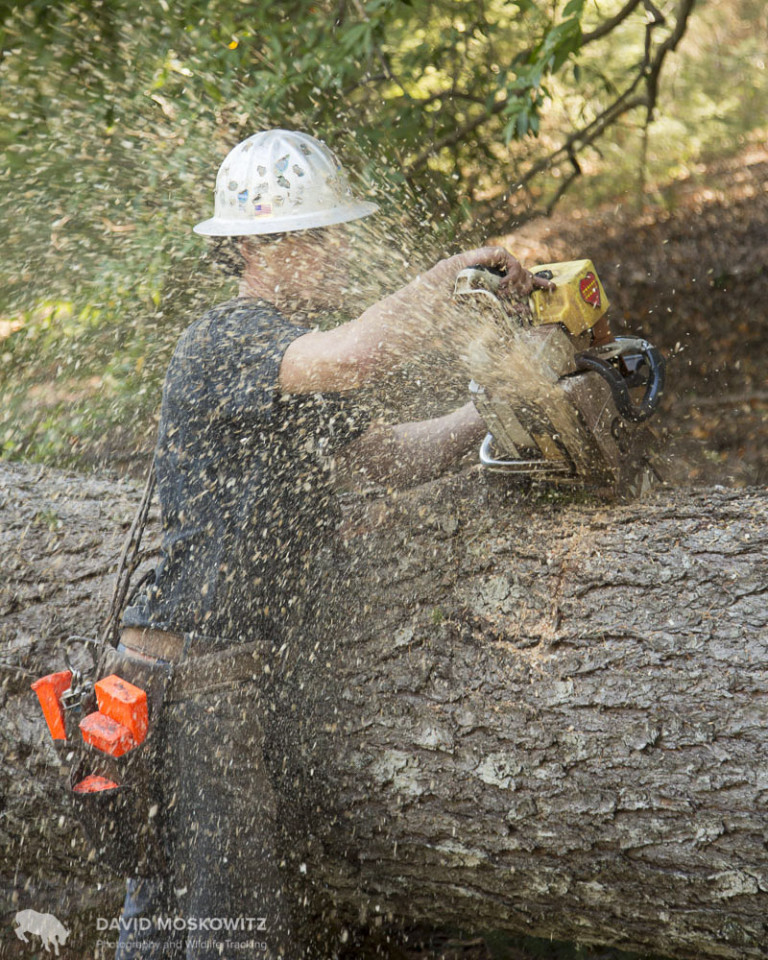 """Bucking the tree"". Careful not to pinch his saw blade, Josh cuts the trunk into sections for transport."