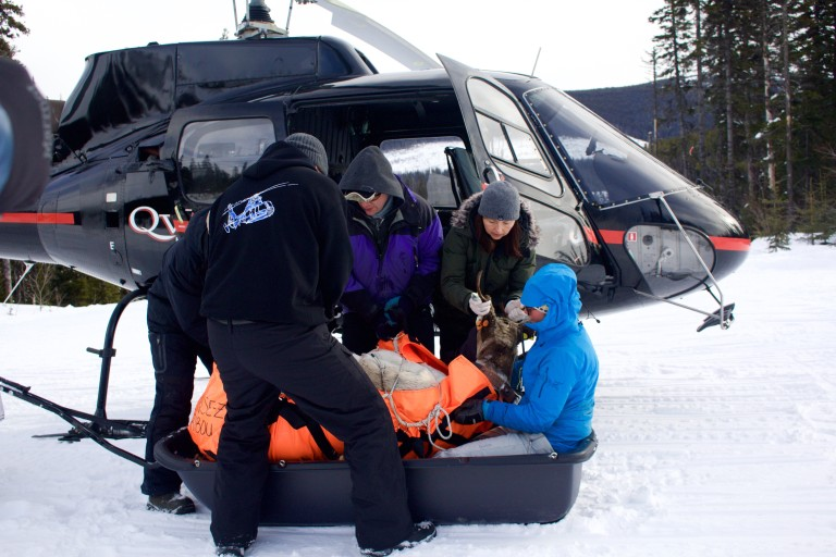 A caribou is offloaded from a helicopter and prepared to be transported to the pen. Photo by Marcus Reynerson.