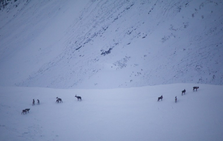 A herd of caribou on a high alpine ridge. Photo by Marcus Reynerson.