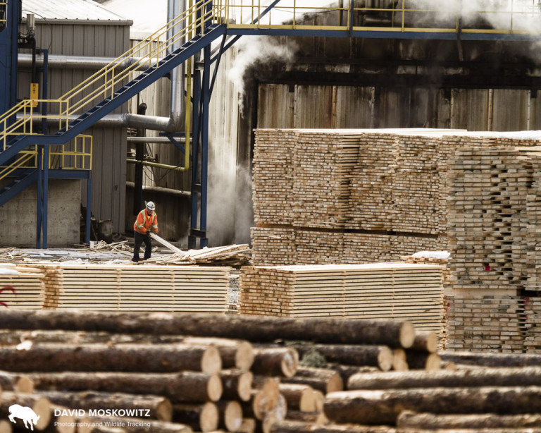 Lumber mill in Chetwynd British Columbia. According to two employees of this mill, most of the logs coming into this mill are from previously uncut forests in the region. According to these employees, Lowes in the USA is the chief recipient of the high grade dimensional lumber produced here. The lower quality lumber is shipped to China. Photo by David Moskowitz.