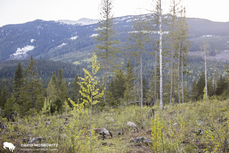 In the spring, mountain caribou drop out of the high mountains to forage. Once snow melts at higher elevations they return to the high country for the summer.