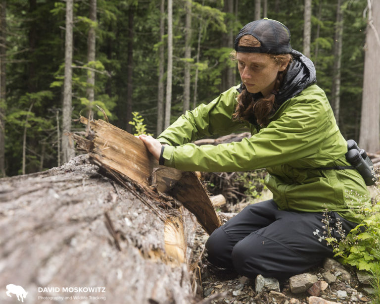 Kim Shelton inspects the bark of a cedar tree which was cut and left in a cut block on public lands in mountain caribou habitat in the southern Selkirks of British Columbia.