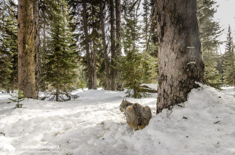 A Canada lynx enjoys some sunshine in a photo from one of my camera traps in Montana. Got many photos of this fellow in this beautiful subalpine forest. Its been many decades since caribou roamed these forests but lynx continue to call these mountains home.