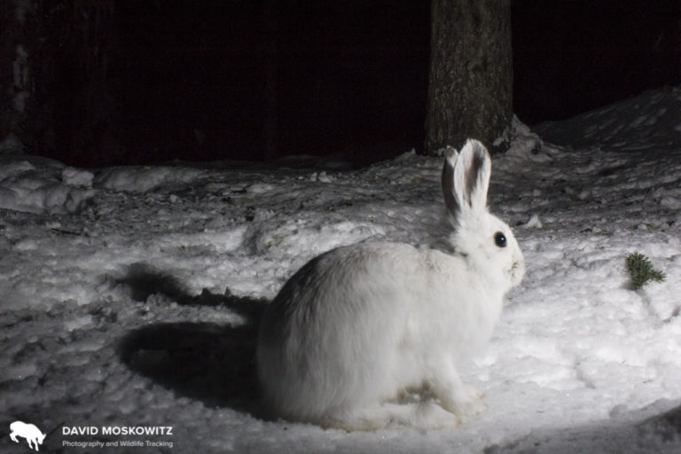 A photo bombing snowshoe hare set up in front of another camera in the Selkirk Mountains in Idaho.