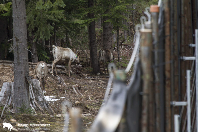 Three pregnant mountain caribou safe inside the Revelstoke maternity pen.