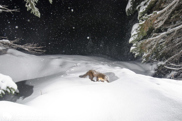 The marten returned several times over the first three weeks this station was set up.