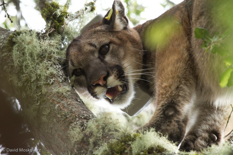 In order to get detailed information on the movements of mountain lions, the project live captures mountain lions and attaches a GPS collar to them.