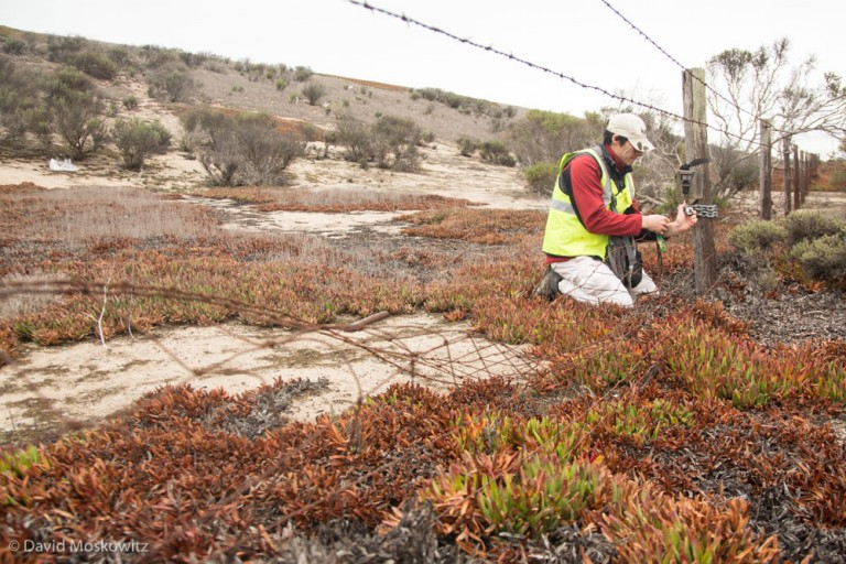 Researcher Ahiga Snyder servicing a remote camera at a break in a fence adjacent to Highway 1 which wildlife have been using to access the roadway.