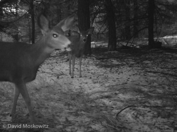Mule deer, such as these two are one of the most conspicuous species of wildlife in the Methow Valley and show up in camera sets in many low elevation camera traps around the valley.