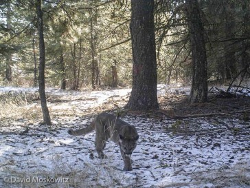 A young mountain lion explores the same location where the deer from the previous image had visited earlier. Other images from this camera captured both this lion and its mother in the same location.