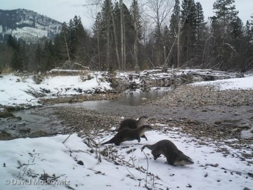 A group of river otters bounds along the banks of the Methow River. I set this camera at a location where I had found sign of a number of species of wildlife and the set also captured images of mountain lion, deer and beaver.