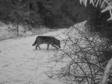 A daytime image from the same camera. The short ears and stocky muzzle of this animal identify it as a wolf.