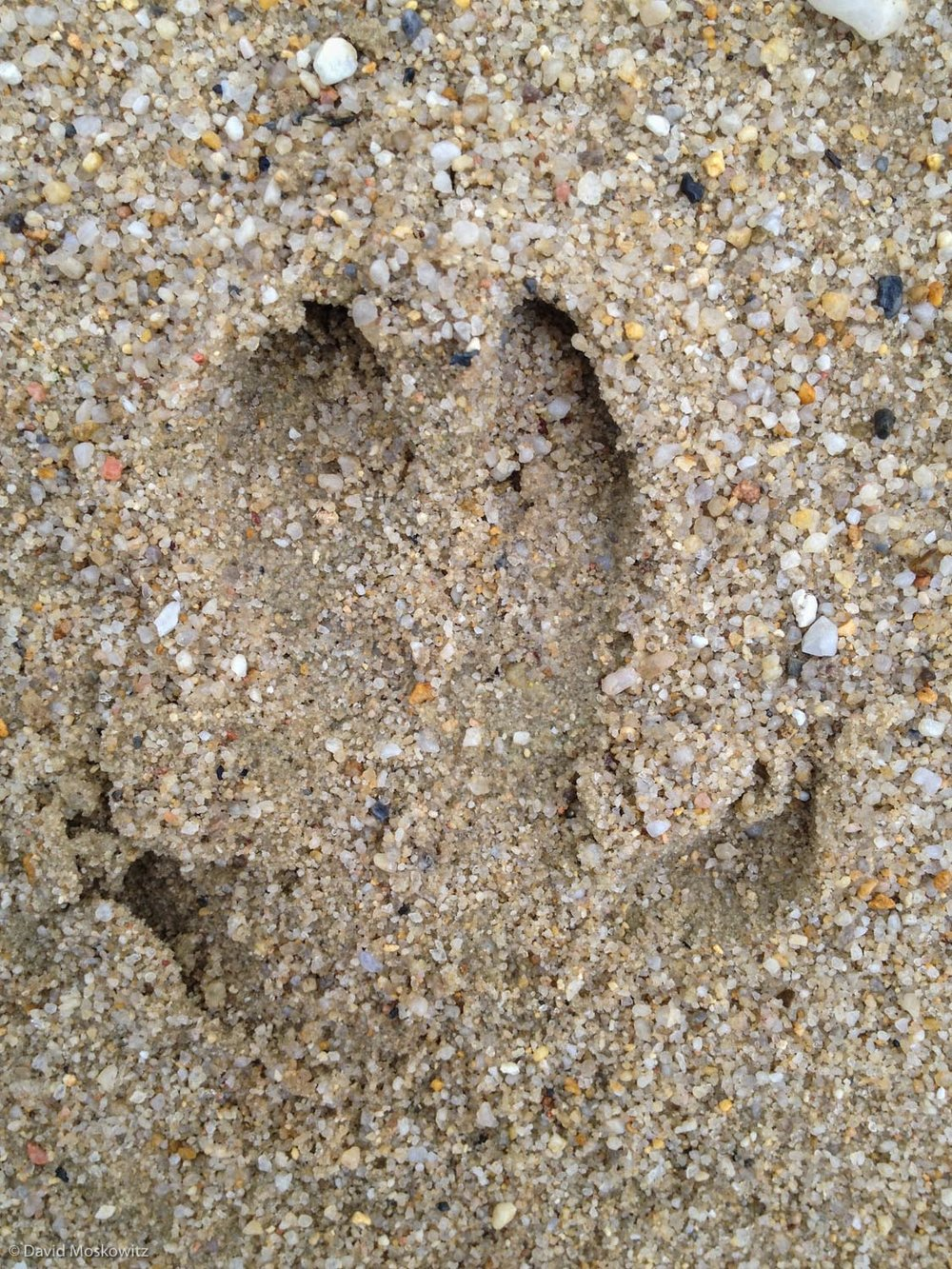 Footprint of a wild boar (Sus scrofa). Eastern Germany.
