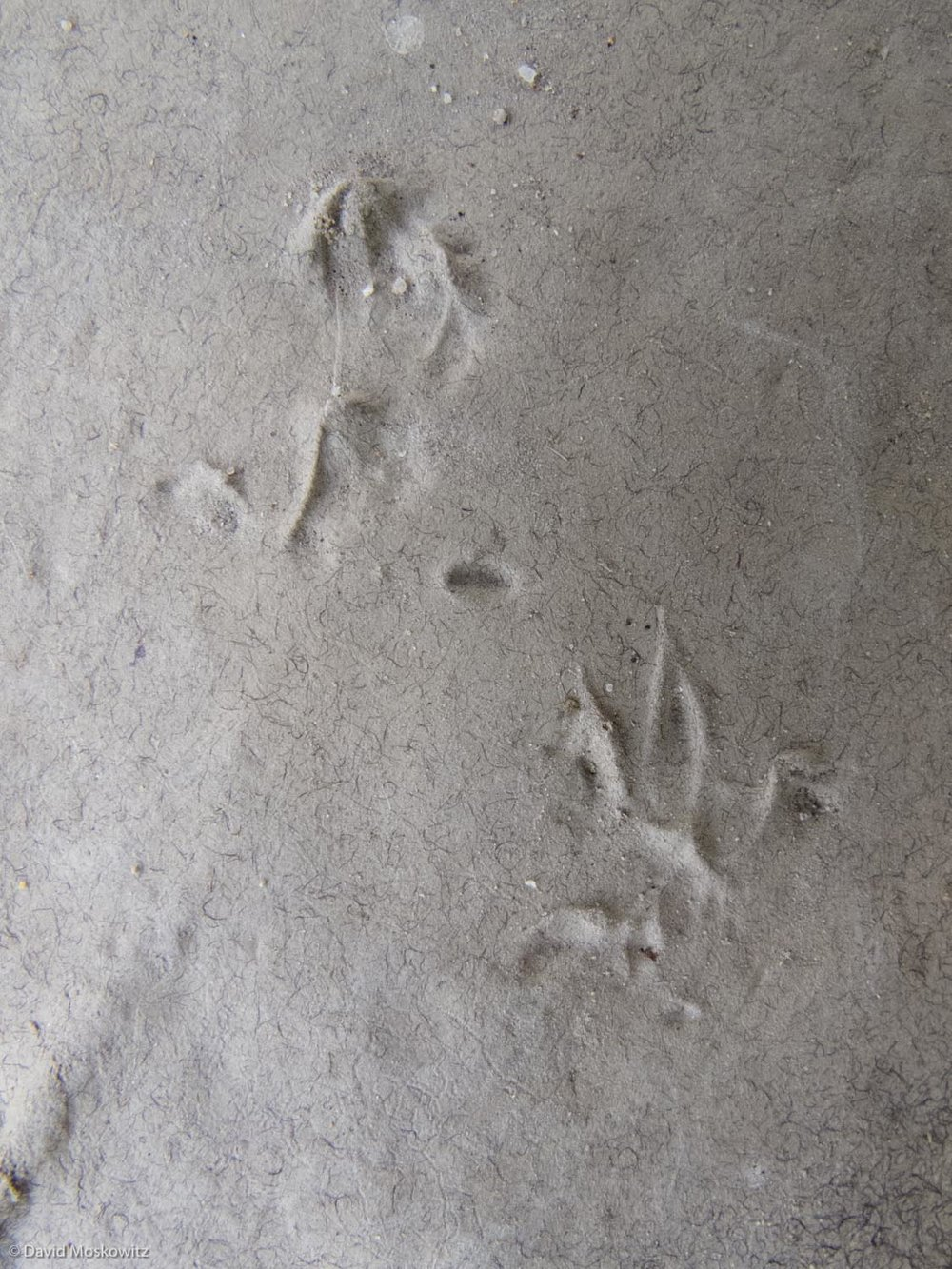 Front (below) and hind (above) tracks of a wood mouse (Apodemus species). Saxony, Germany.