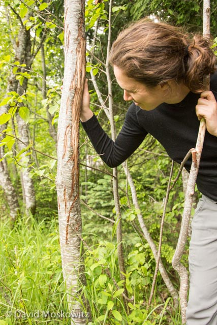 Laura Belson inspects an elk antler rub on a red alder on the edge of a wetland.