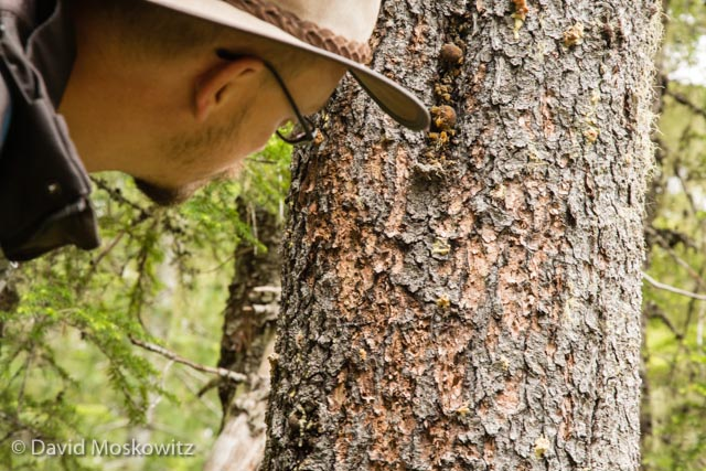Justin Miller inspects the sign left behind by a woodpecker foraging on mountain pine bark beetles on a lodgepole pine.