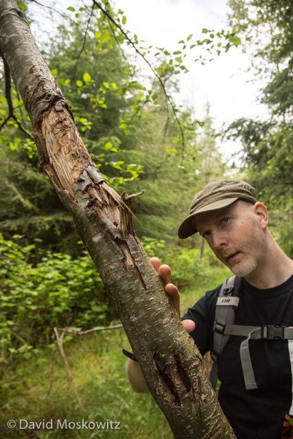 Mark Kang-O'Higgins inspects the marks left on a leaning alder by a scent marking black bear.