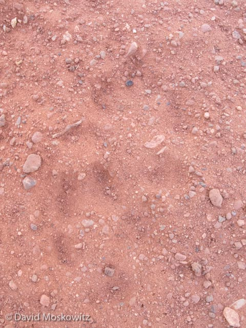 These tracks of a kit fox in dust where one of the first questions during the evaluation. Their small size, very slender shape of the hind foot and diminutive size of the metatarsal pads differentiate these tracks from those of a grey fox.