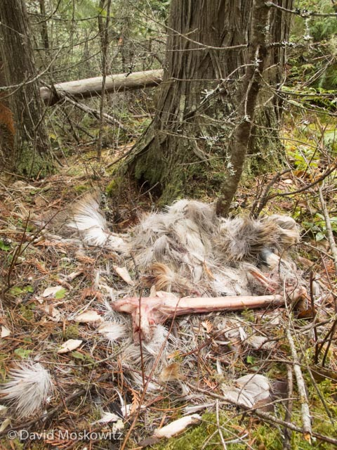 The evaluation included a number of questions about the remains of a white-tailed deer which had been consumed by wolves.