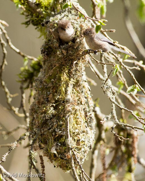 Two bushtits at the entrance to their nest in the Snoqualmie Valley in western Washington. Bushtits ( Psaltriparus minimus ), a similar sized bird found in much of the Pacific Northwest as well, also build enclosed nests out of mosses and lichens. Bushtit nests are more pendulous with an entrance towards the top of the nest.