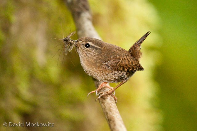 A Pacific wren with insects in its bill bound for young ones in a nearby nest. West slope Cascades, King County, Washington.
