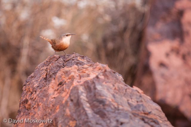 Canyon Wrens were one of the most common birds to see or hear along much of the river. Their beatiful lyrical song echoeing off the canyon walls was one of the most amazing sounds on the river. Grand Canyon, Arizona.