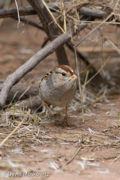 A first winter white-crowned sparrow. Grand Canyon, Arizona.