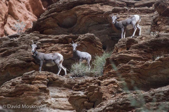 A group of bighorn sheep ewes in Tuckup Canyon, a tributary to the Colorado River in the Grand Canyon, Arizona.