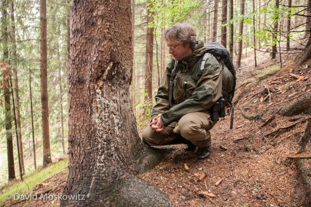 A tree close to a spring wild boar's use as a wallow. Robin Rigg, Slovak Wildlife Society Founder and Director, inspects the scar and mud on the base of the tree is from repetitive rubbing from boars on the tree. Tatra Mountains, Slovakia.