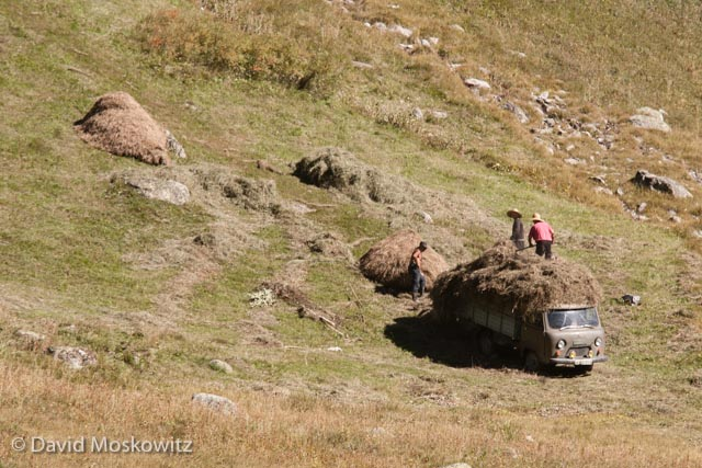 Hay mounds are eventually collected and loaded onto either trucks or wooden sleds pulled by cattle to be hauled into the village.